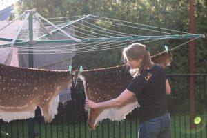 Tanning a deer hide