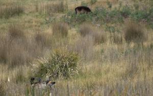 bow hunt fallow deer