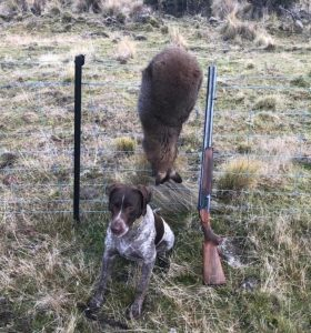 wallaby hunting with hounds