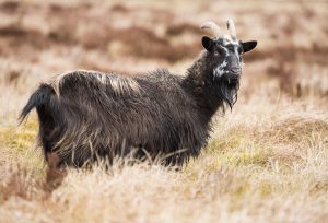 How to field dress a goat
