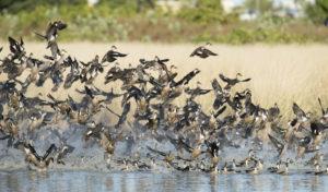 Australian Grey Teal ducks